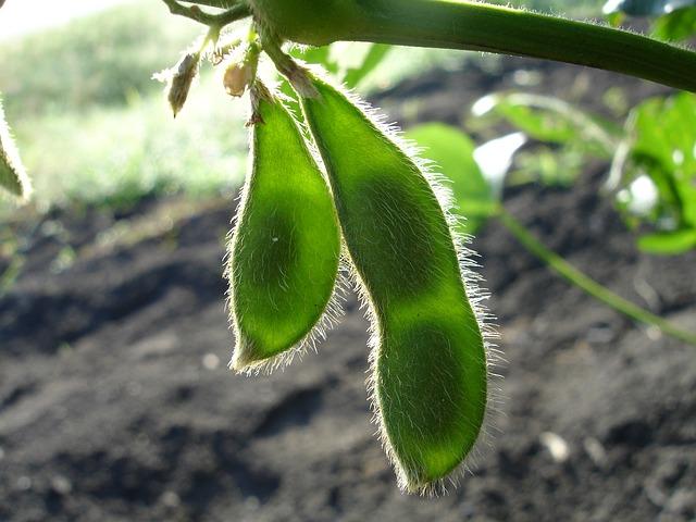 Soja-Pflanze Soja-Granulat